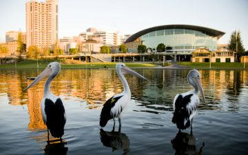 Three pelicans in a river in Adelaide, Australia