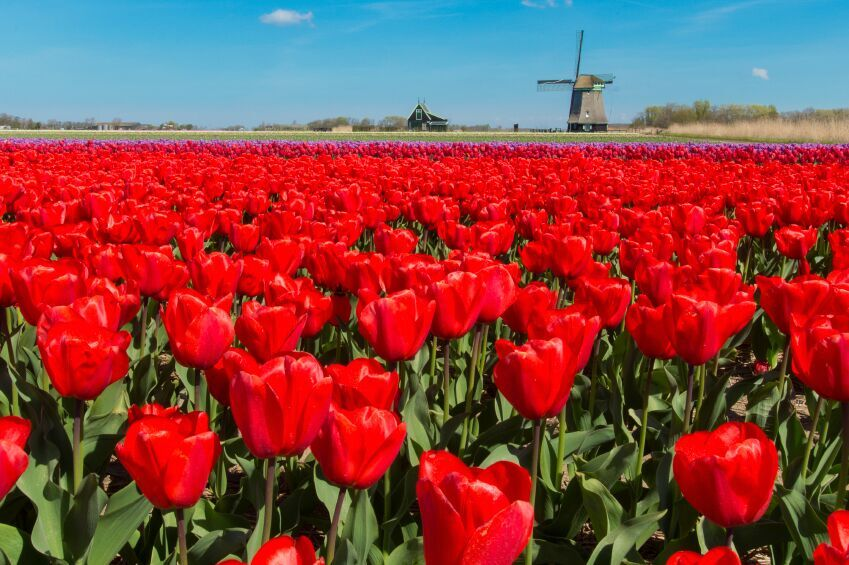Red Tulips, Netherlands