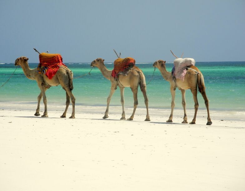 Camels on Beach, Mombasa