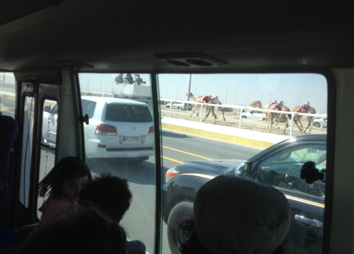 Following the camel race by coach, Doha, Qatar