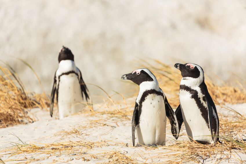 Penguins, Cape Verde