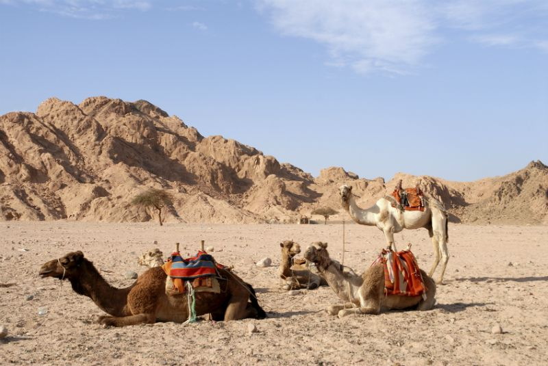 Camels in Egyptian Desert