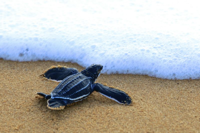 Hatchling Leather Back Turtle by the sea
