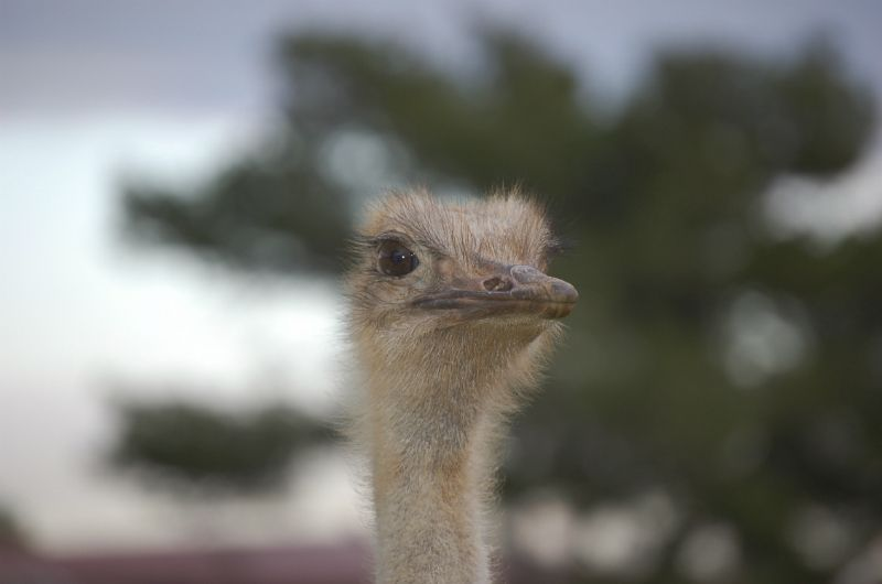 Ostrich at Zoo, Majorca