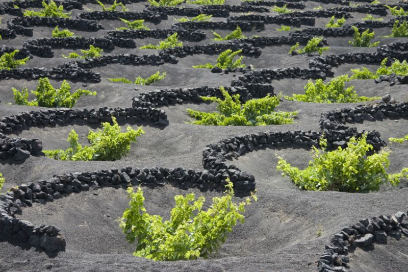 Vines growing in stone crescents, Lanzarote