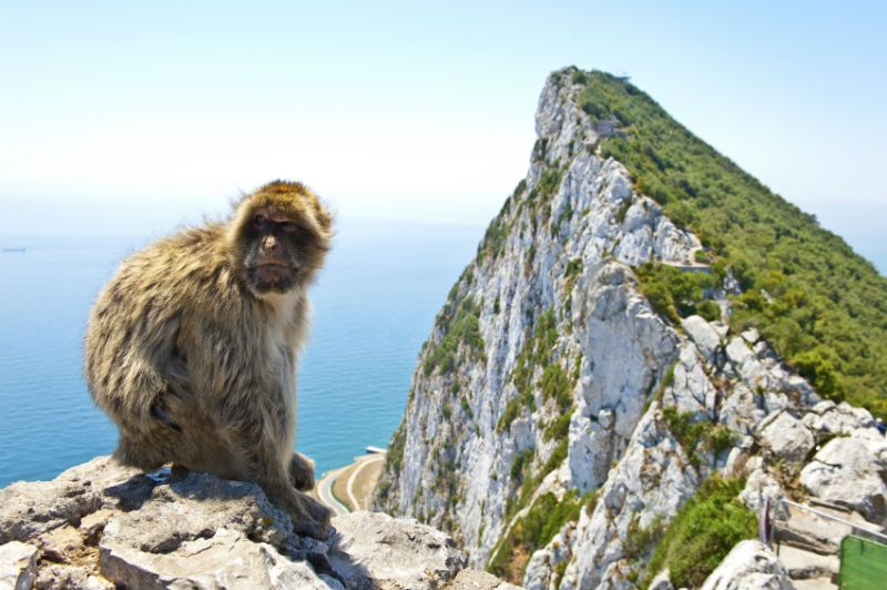 A Barbary ape, Rock of Gibraltar