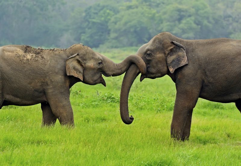 Elephants in Sri Lanka