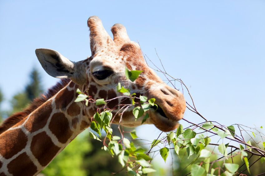 Giraffe eating green leaves