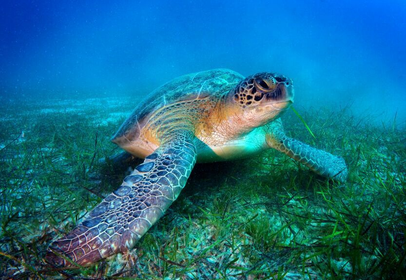 Logger Head Sea Turtle