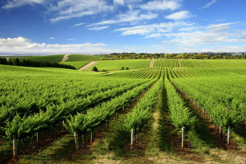 Vineyard and blue sky in Australia