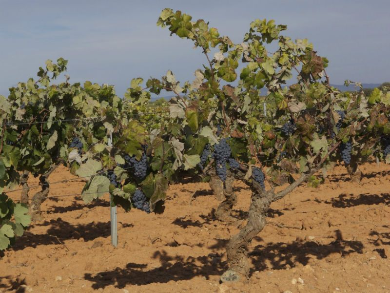 Black grapes in Vineyards during the day, Valencia, Spain