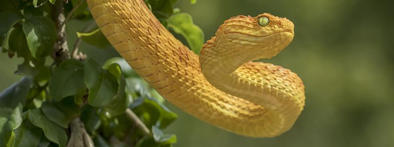 Venomous Bush Viper Snake Orange Phase
