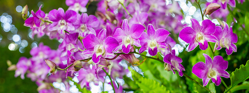 Beautiful-Violet-Orchid-Flowers-in-the-garden